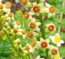 frankincense flower